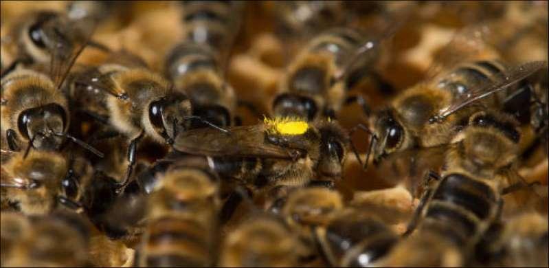 Un produit interdit cause une hécatombe d'abeilles e Suisse