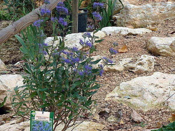 Caryopteris x Clandonensis -Heavenly Blue