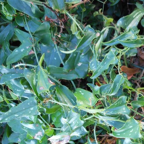 La plante favorite des Strumpfs