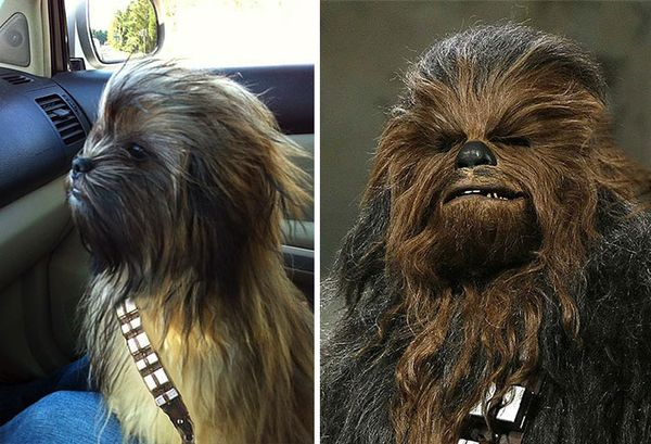 4. Same haircut for Chewbacca and this dog and a dog which visibly has the same hair stylist as Cher
