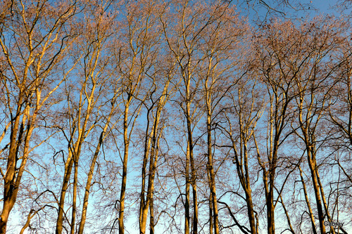 Canal du Midi: platanes en janvier ...