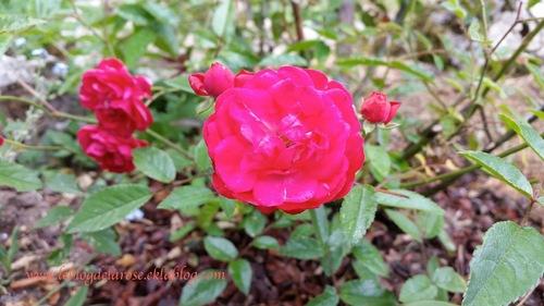 Rose rose flashy/ Rose flashy pink