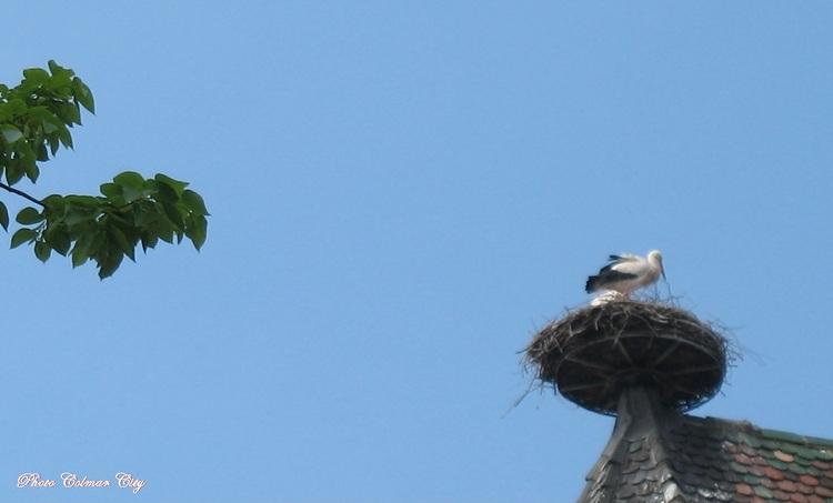 Colmar le nez en l'air : cigognes au nid