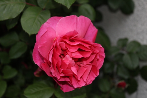 n;°302 Une Rose -chez Mildéfis