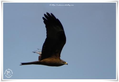 Milans noirs - Milvus migrans - Black Kite