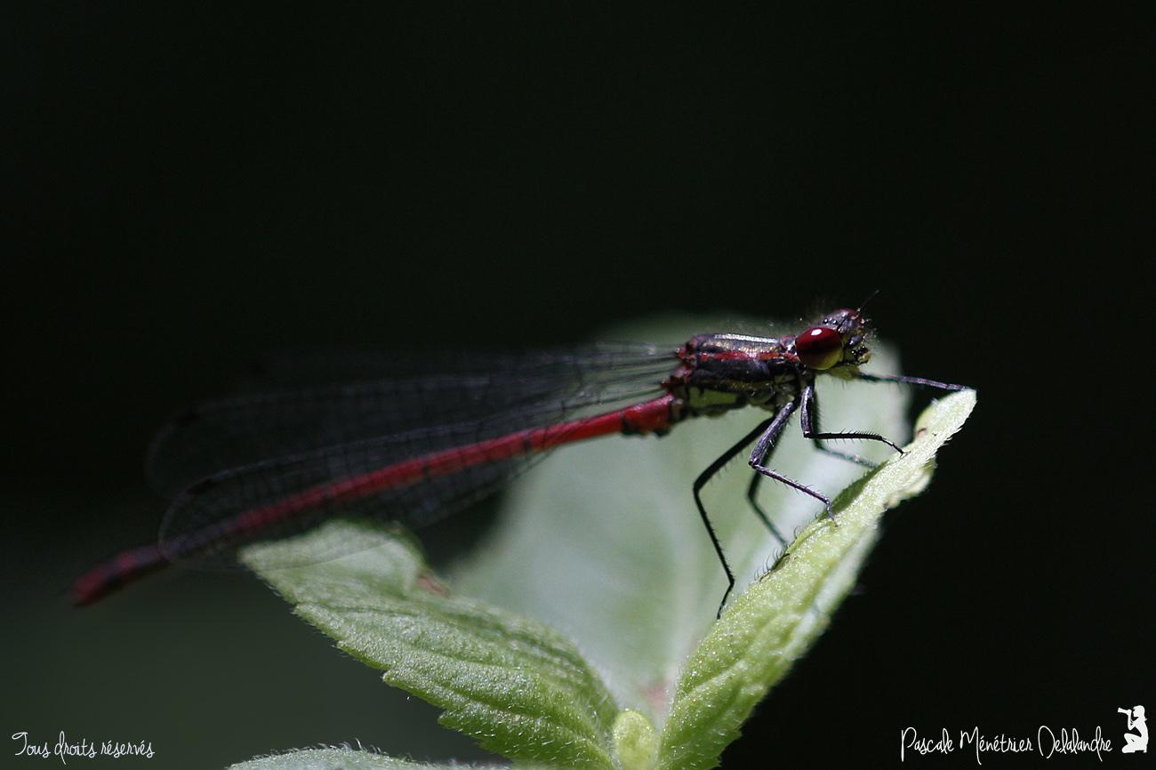 Nymphe au corps de feu ♂ - Pyrrhosoma nymphula