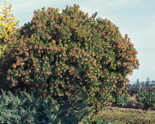 Vertus médicinales des plantes sauvages : Arbousier
