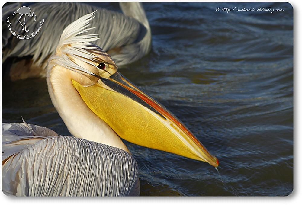 Pélican blanc - Pelecanus onocrotalus