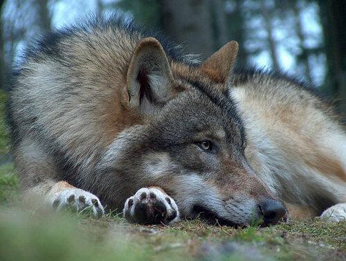 Loup Sieste