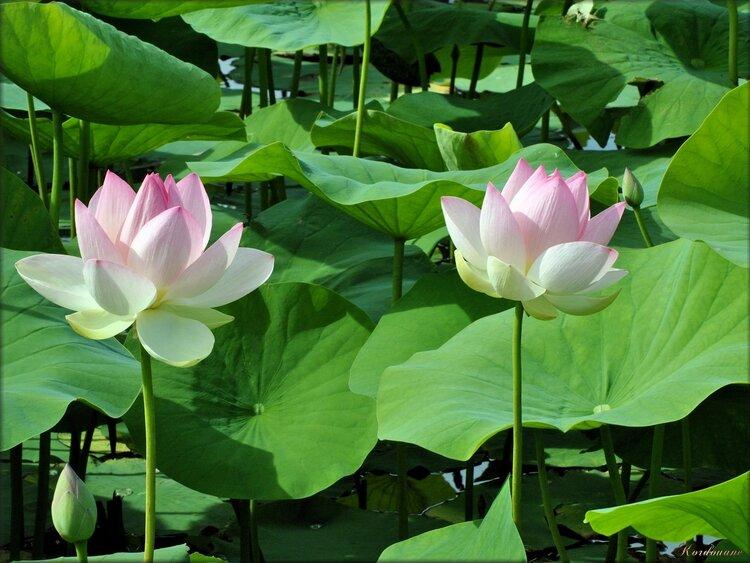 Lotus (parc floral de la Court d'Aron)