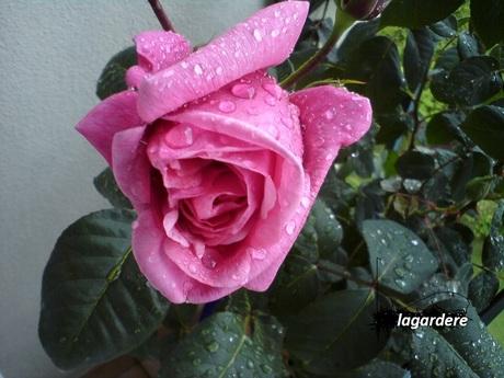 UNE ROSE PLEURE