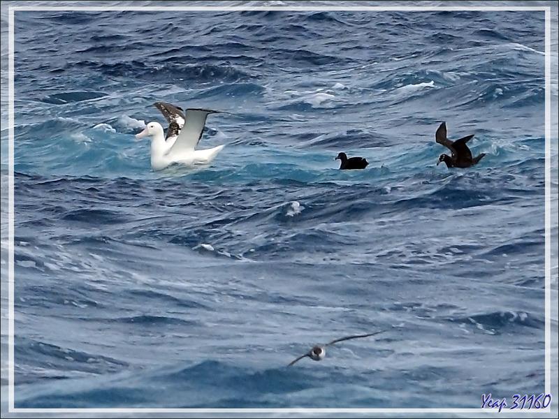Observation d'oiseaux entre Tristan et Le Cap : albatros, pétrel à lunettes, puffin majeur ...