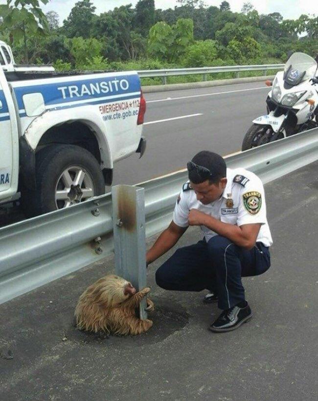 equateur paresseux animal autoroute police 3 - Coincé sur l'Autoroute, ce Paresseux va Etre Sauvé par un Policier