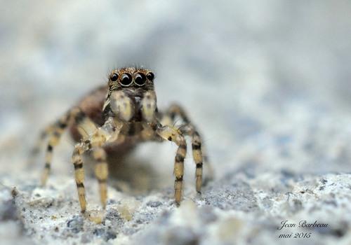 L'araignée aux nuits yeux de biche....
