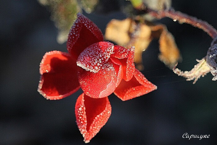 roses 9572