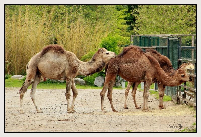 Dromadaires au zoo de Beauval