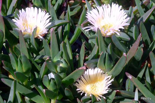 Fleurs de griffe de sorcière ( carpobrotus)