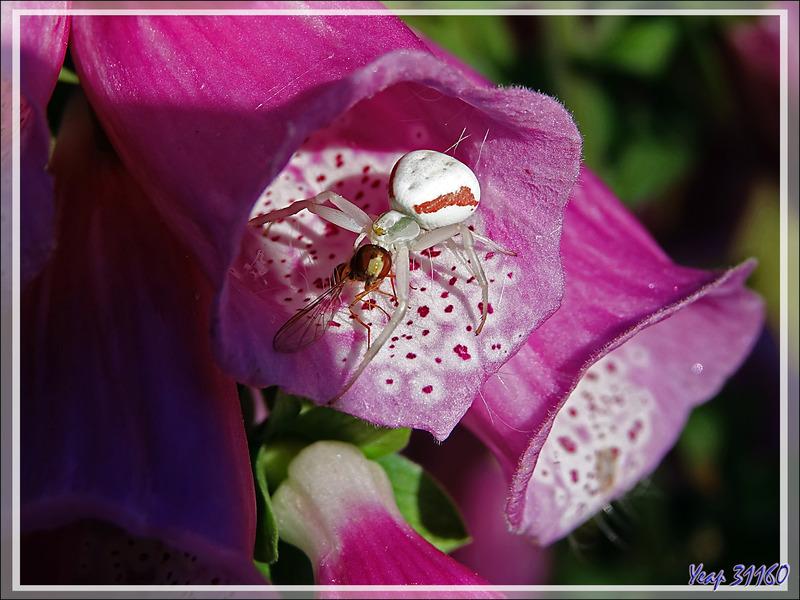 L'Araignée crabe Thomise variable s'est adaptée à la couleur de la digitale (Misumena vatia) et sa proie - Lartigau - Milhas - 31