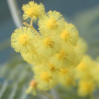 Mimosa - Zoom sur les fleurs