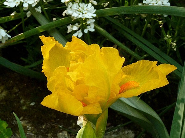 Iris lilliput Cinderella