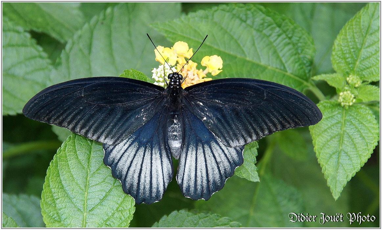 Grand Mormon / Papilio memnon