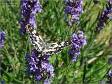 Le Demi-Deuil Melanargia galathea Nymphalidae
