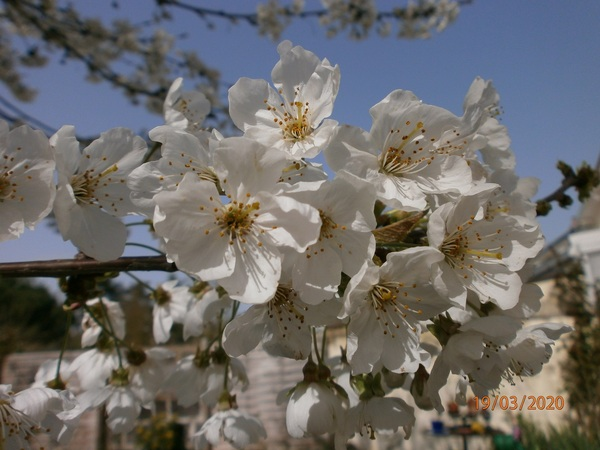 Le cerisier de Martine