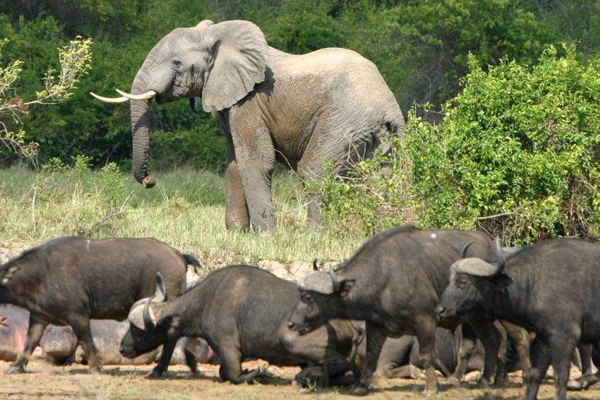 Les taux de braconnage des éléphants sont restés pratiquement inchangés en 2014, selon CITES