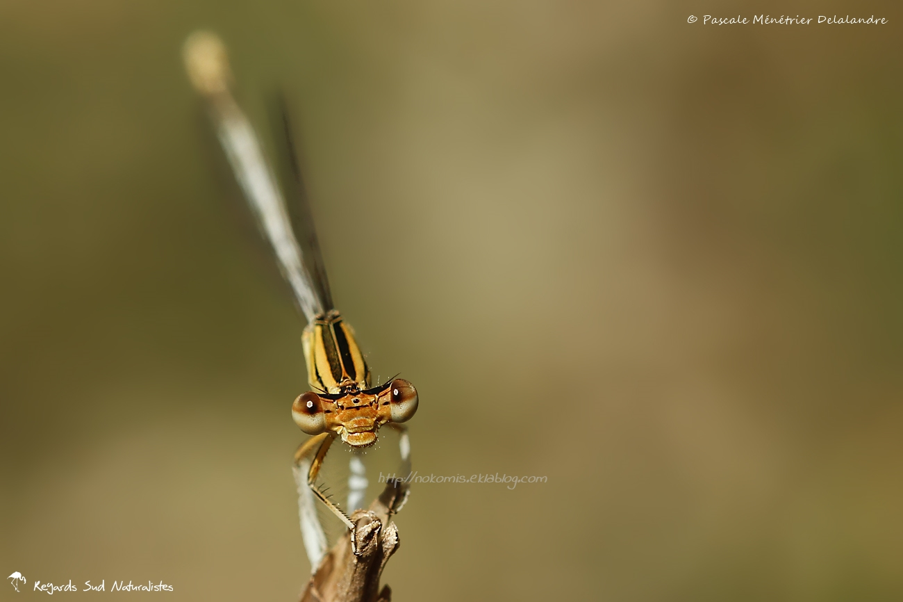 Pennipatte blanchâtre ♀ - Platycnemis latipes