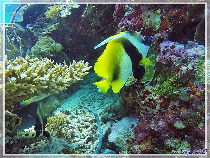 Poisson cocher masqué, Heniochus cornu, Masked bannerfish (Heniochus monoceros) - Spot Lapunta - Atoll d'Ari - Maldives