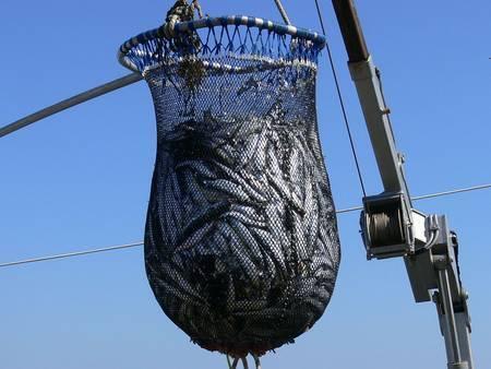 Connus pour avoir une croissance rapide et une espérance de vie courte, les céphalopodes ont des physiologies extrasensibles qui pourraient leur permettre de s'adapter plus rapidement que d'autres espèces marines, notamment en réponse à la surpêche qui diminuent les stocks de poissons. © F. Lamiot, Wikimedia Commons, CC by-sa 4.0