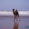 aglou - plage - baignade des dromadaires - 3