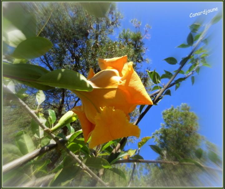 Liane trompette, liane abricot, coupe d'or, calice d'or, Solandra grandiflora, solandre