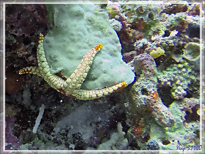 Etoile de mer élégante, Elegant sea star (Fromia nodosa) - Spot Lapunta - Atoll d'Ari - Maldives