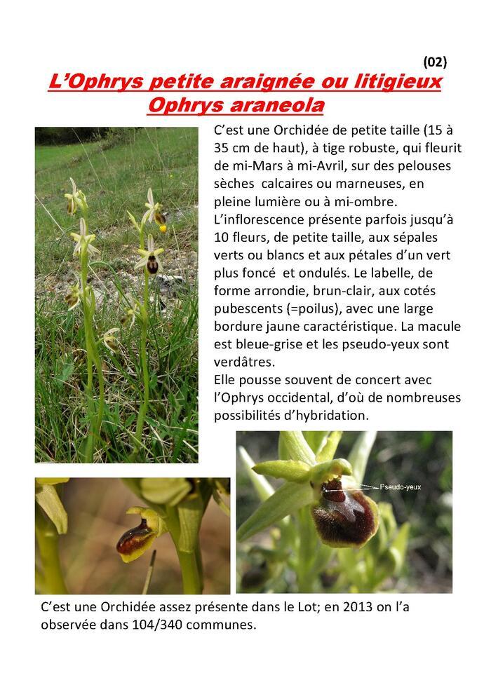 Fichier 02 : l'Ophrys petite araignée