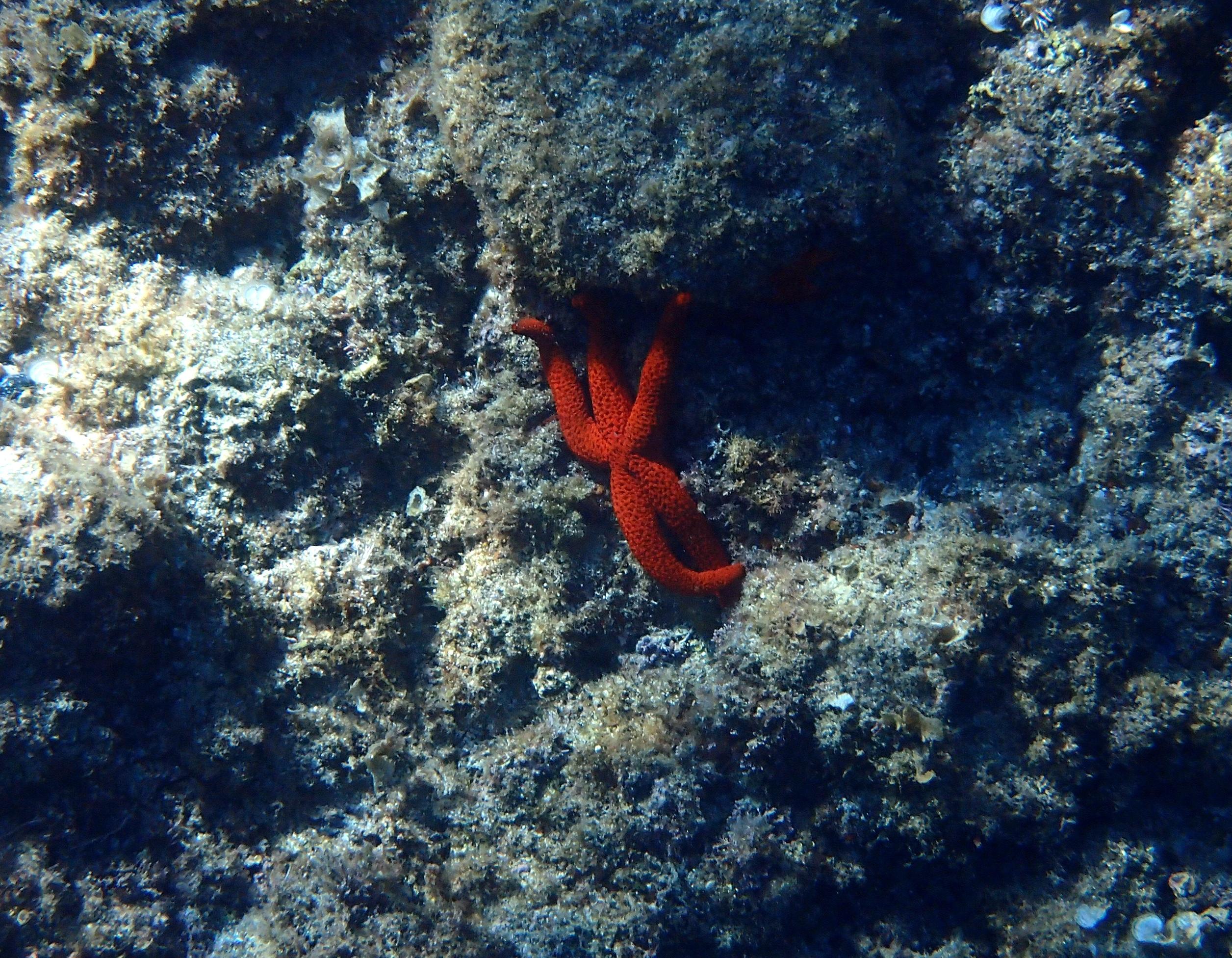 étoile de mer rouge