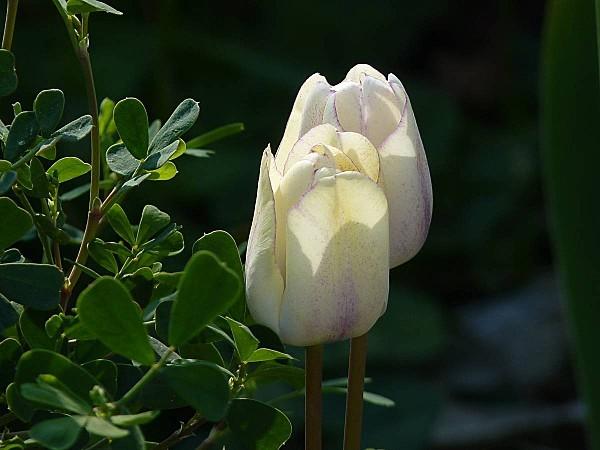 Tulipe Shirley 2