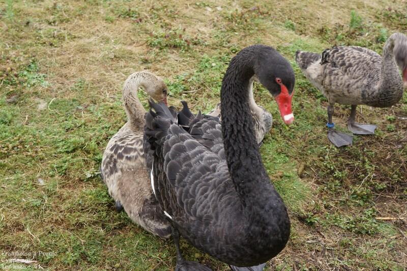 La famille cygne noir