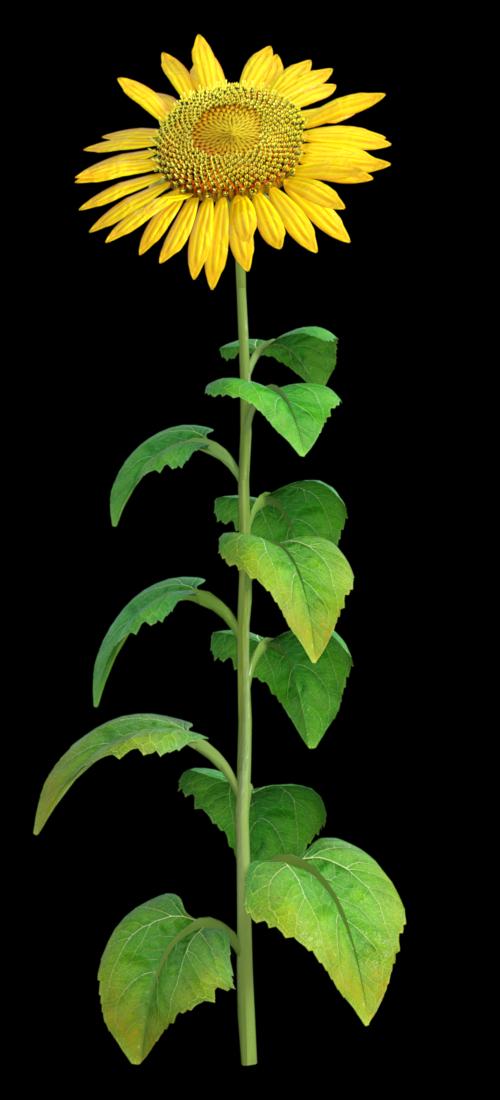 "Tube de ""tournesol""  fleur (render-image)"