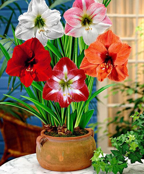 La Fleur d'Amaryllis