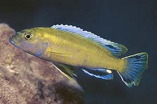genyochromis
