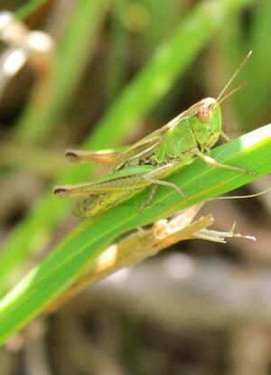 Stenobothrus Lineatus ou Stenobothre de la Palène ou Criquet de la Palène