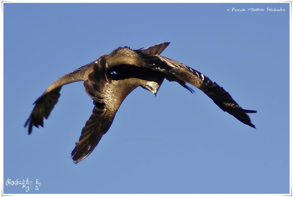 Duo de Milans noirs - Milvus migrans - Black Kite