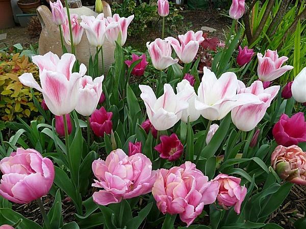 Tulipe-Hollande-chic-PinkStar-China-Pink-13-04-12-003.jpg