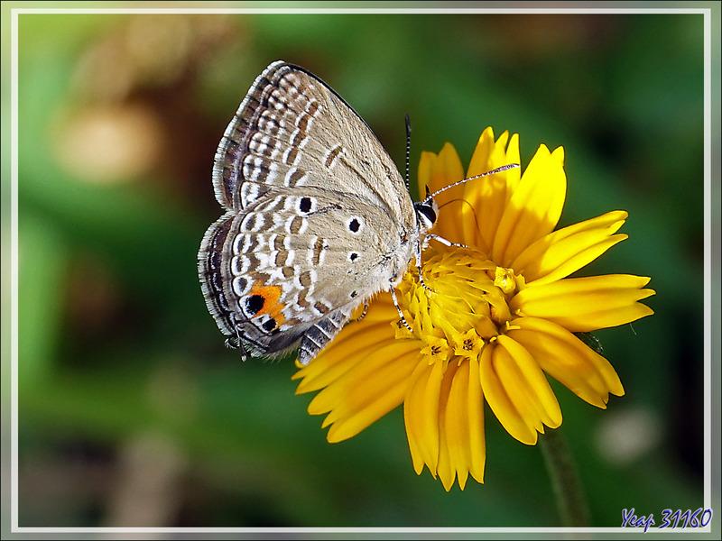 Herbe-soleil, Herbe à femme, Bay Biscayne creeping-oxeye, Singapore daisy (Sphagneticola trilobata) - Nosy Sakatia - Madagascar