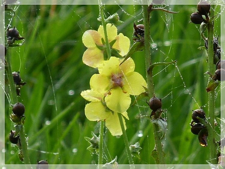 Translucides joyaux