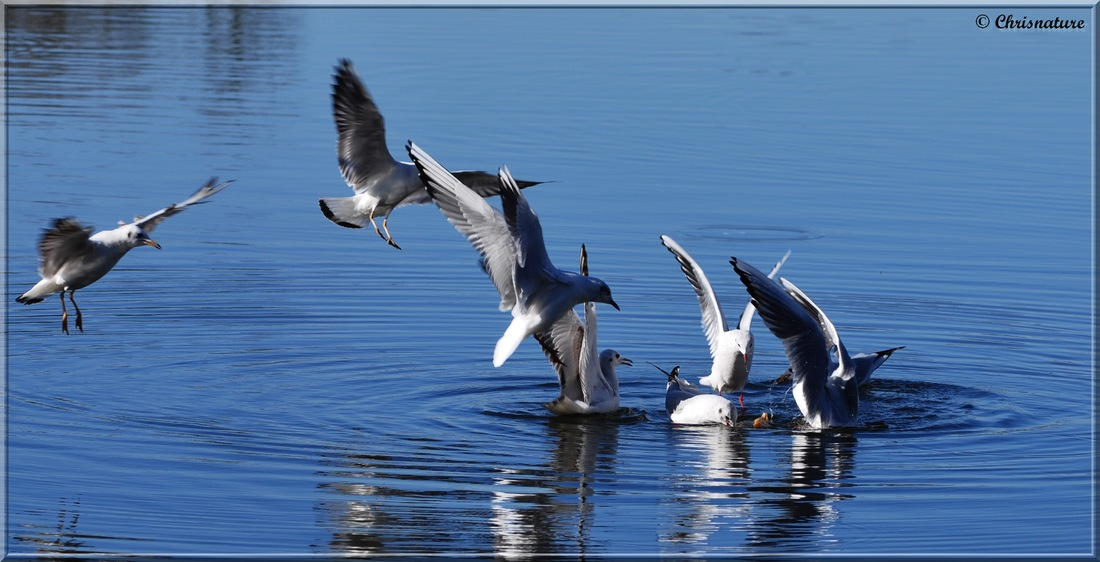 Mouette rieuses