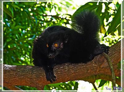 Lémurs noirs. Maki macaco (Eulemur macaco) - Nosy Komba - Madagascar