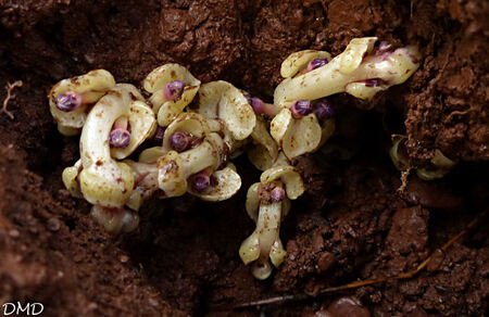Lathraea clandestina - lathrée clandestine