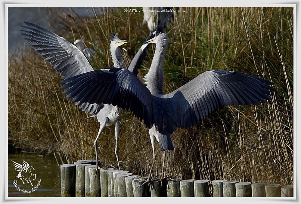 Héron cendré - Ardea cinerea - Grey Heron (Pélécaniformes)